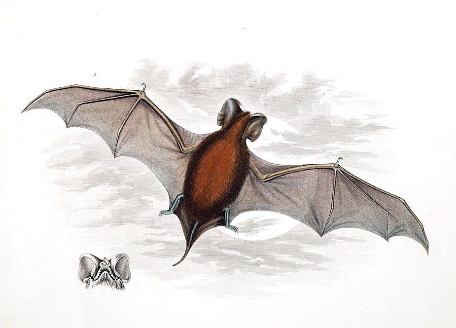 Image of Peale's Free-tailed Bat