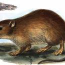 Image of Pest Rat