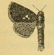Image of <i>Metarbela triguttata</i> Aurivillius 1905