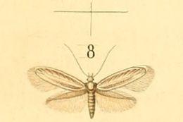 Image of <i>Elachista pollutella</i> Duponchel 1844