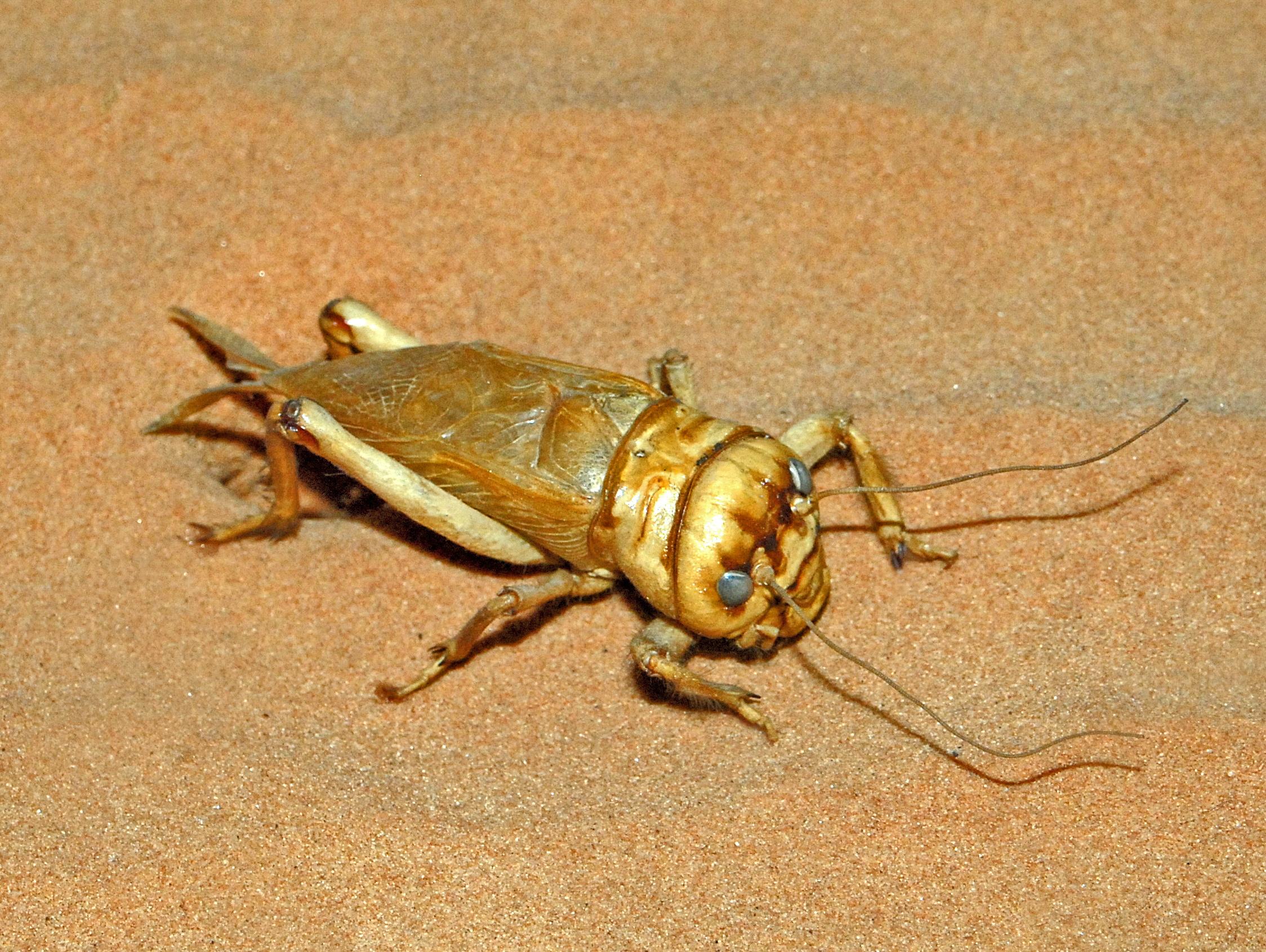 Image of <i>Brachytrupes megacephalus</i> (Lefebvre 1827)