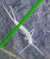 Image of diplurans