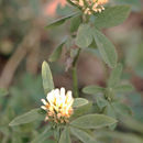 Image of Egyptian clover