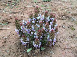 Image of <i>Coris monspeliensis</i> L.