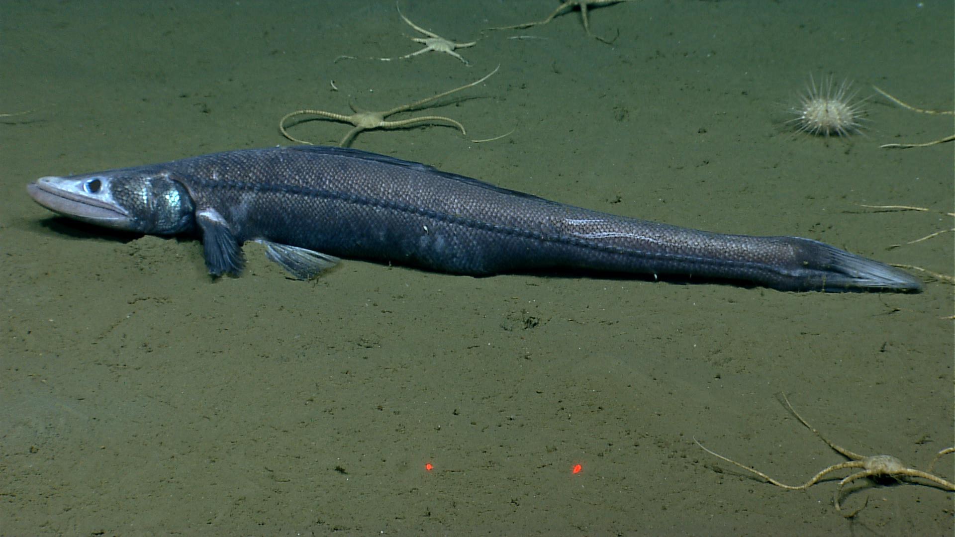 Image of Bathysaurus