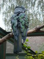 Image of Cuckoo Roller