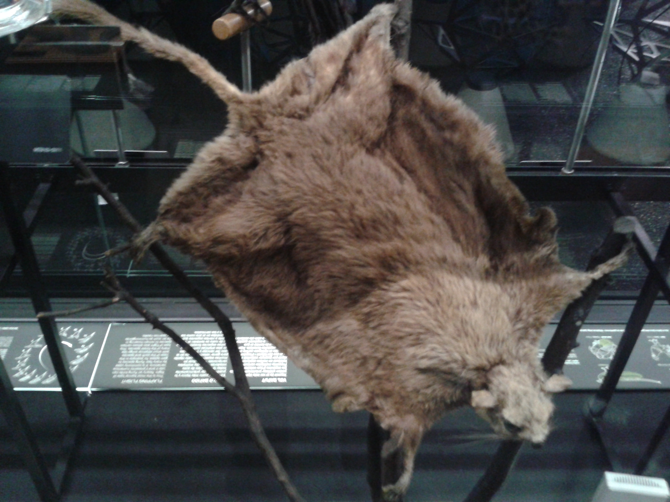 Image of Derby's Flying Squirrel