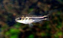 Image of pygmy corydoras