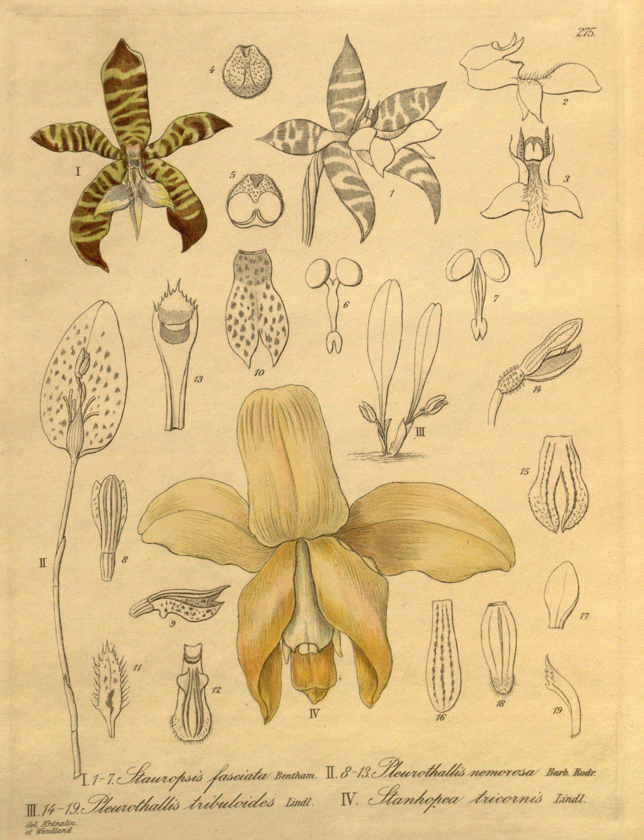 Image of <i>Stanhopea tricornis</i> Lindl.