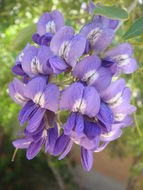 Image of <i>Calia secundiflora</i>