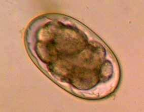 Image of Ancylostoma