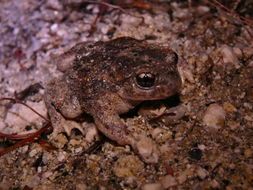 Image of Iberian Midwife Toad