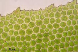 Image of Maidenhair moss