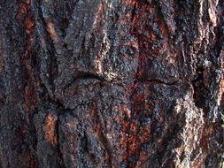 Image of <i>Eucalyptus sideroxylon</i> A. Cunn. ex Woolls