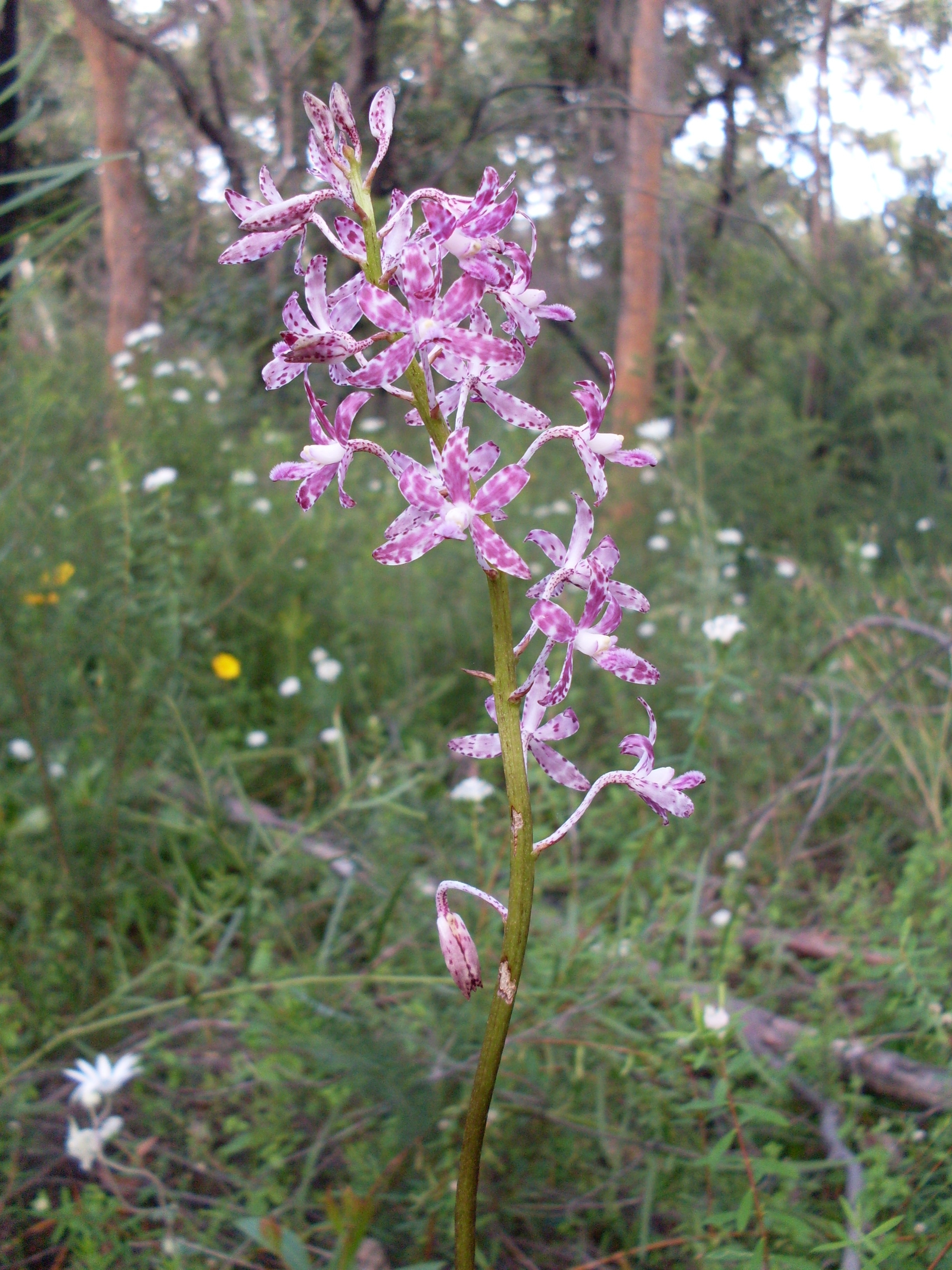 Image of Blotched hyacinth-orchid