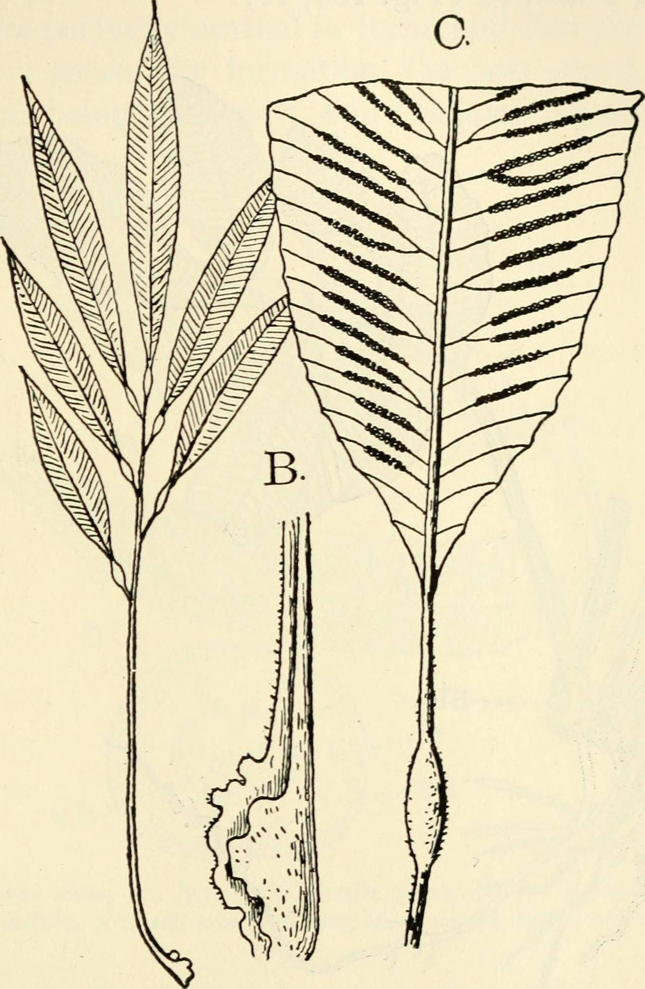 Image of Marattiaceae