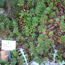 Image of <i>Sedum oaxacanum</i> Rose