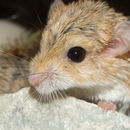 Image of Fat-tailed Gerbil
