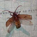 Image of Gigantotrichoderes