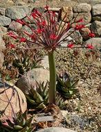 Image of <i>Brunsvigia josephinae</i>