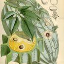 Image of <i>Telfairia occidentalis</i> Hook. fil.