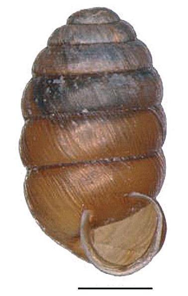 Image of <i>Pupilla alpicola</i> (Charpentier 1837)