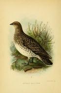 Image of Attagis Geoffroy Saint-Hilaire, I, Lesson & R 1831