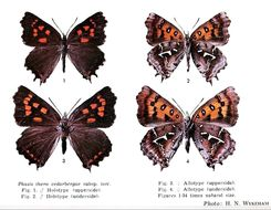 Image of <i>Phasis thero</i> (Linnaeus 1764)