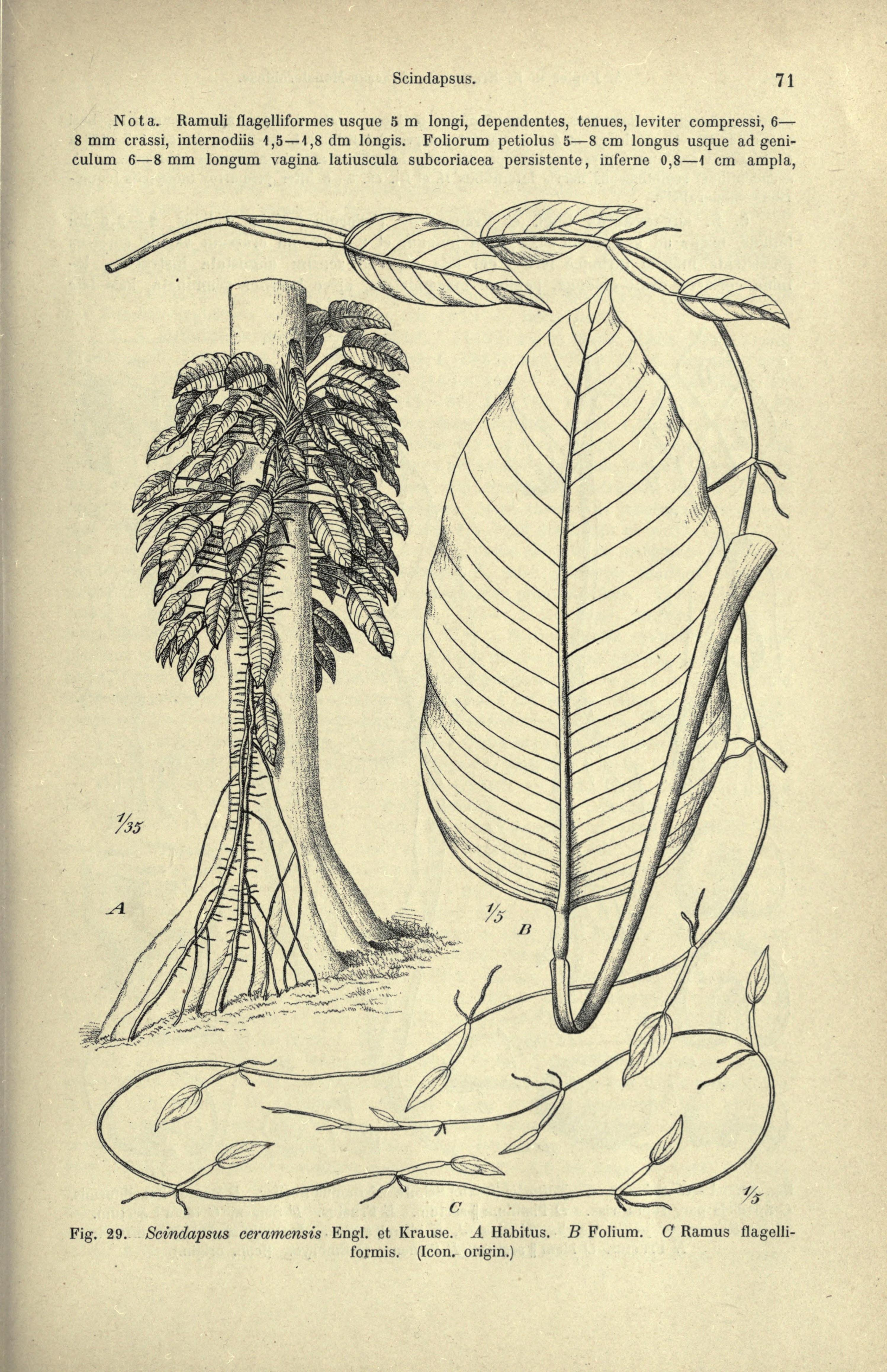 Image of <i>Epipremnum ceramense</i> (Engl. & K. Krause) Alderw.