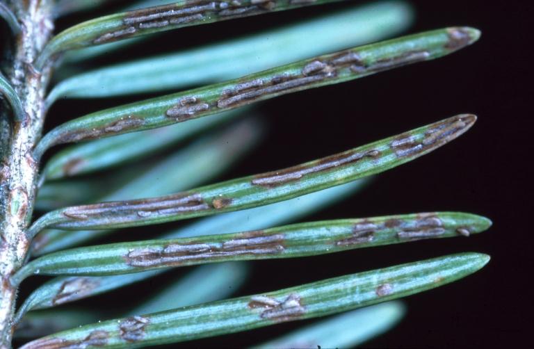 Image of <i>Rhabdocline pseudotsugae</i> Syd. 1922
