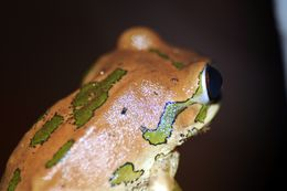 Image of Natal Tree Frog