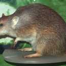 Image of Golden bandicoot