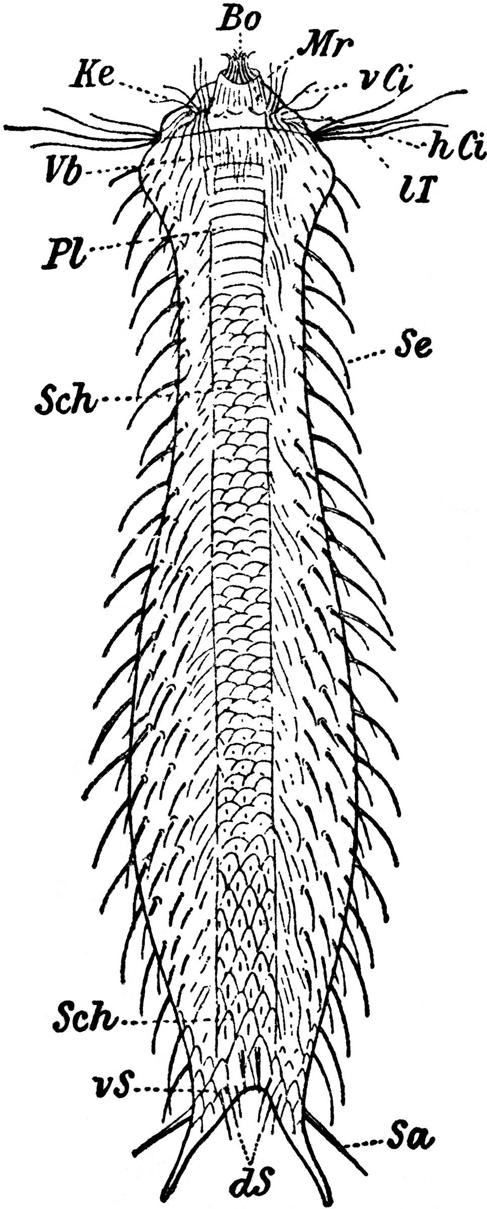 Image of Chaetonotidae