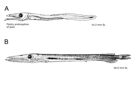 Image of <i>Anotopterus pharao</i>