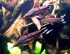 Image of Flagtail catfish