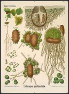 Image of chalice lichen