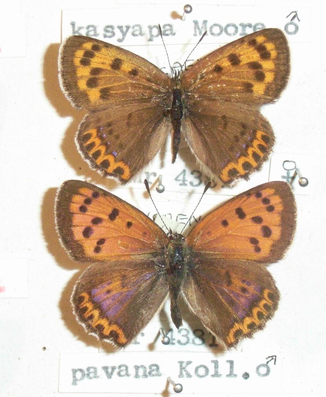 Image of <i>Lycaena pavana</i> Kollar 1848