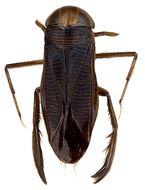 Image of <i>Hesperocorixa sahlbergi</i> (Fieber 1848)