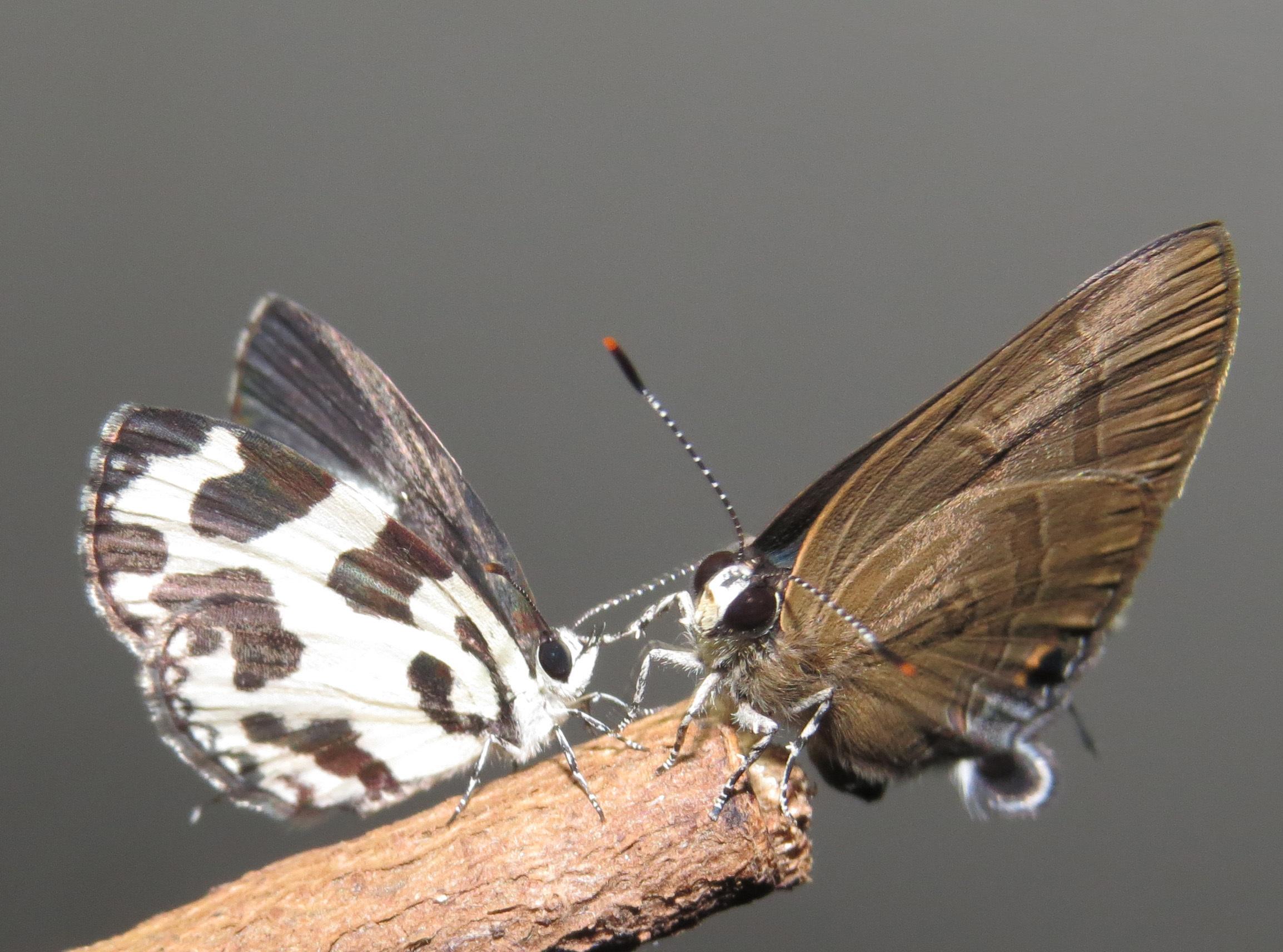 Image of <i>Rapala manea</i> (Hewitson 1863)