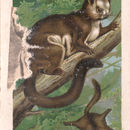 Image of Indian Giant Flying Squirrel