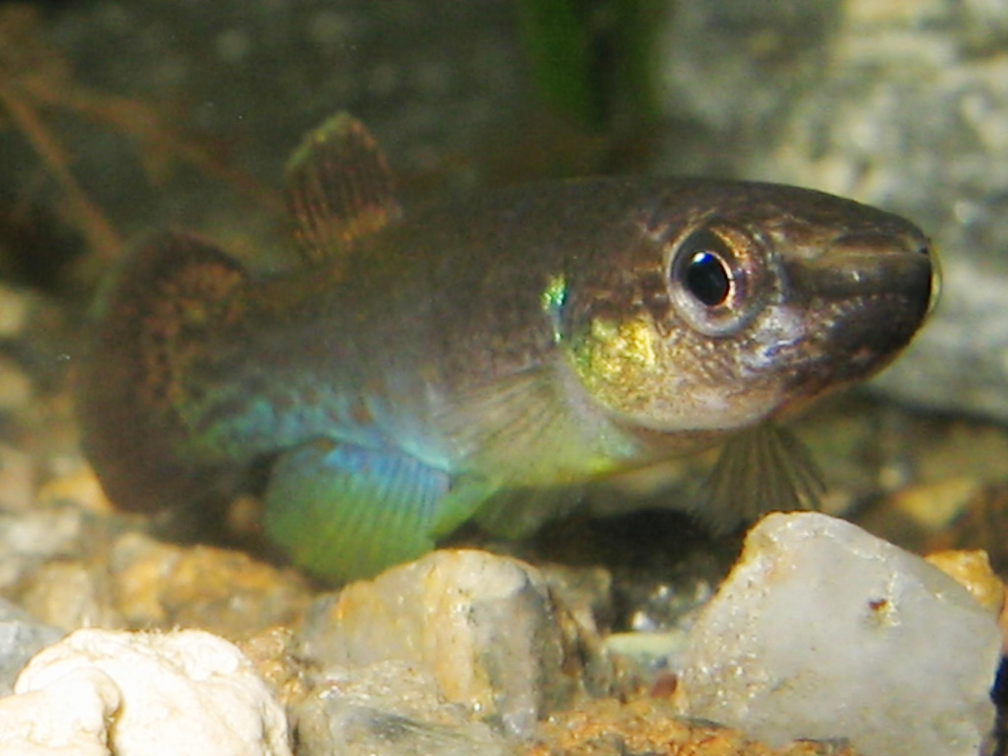 Image of Rivulus