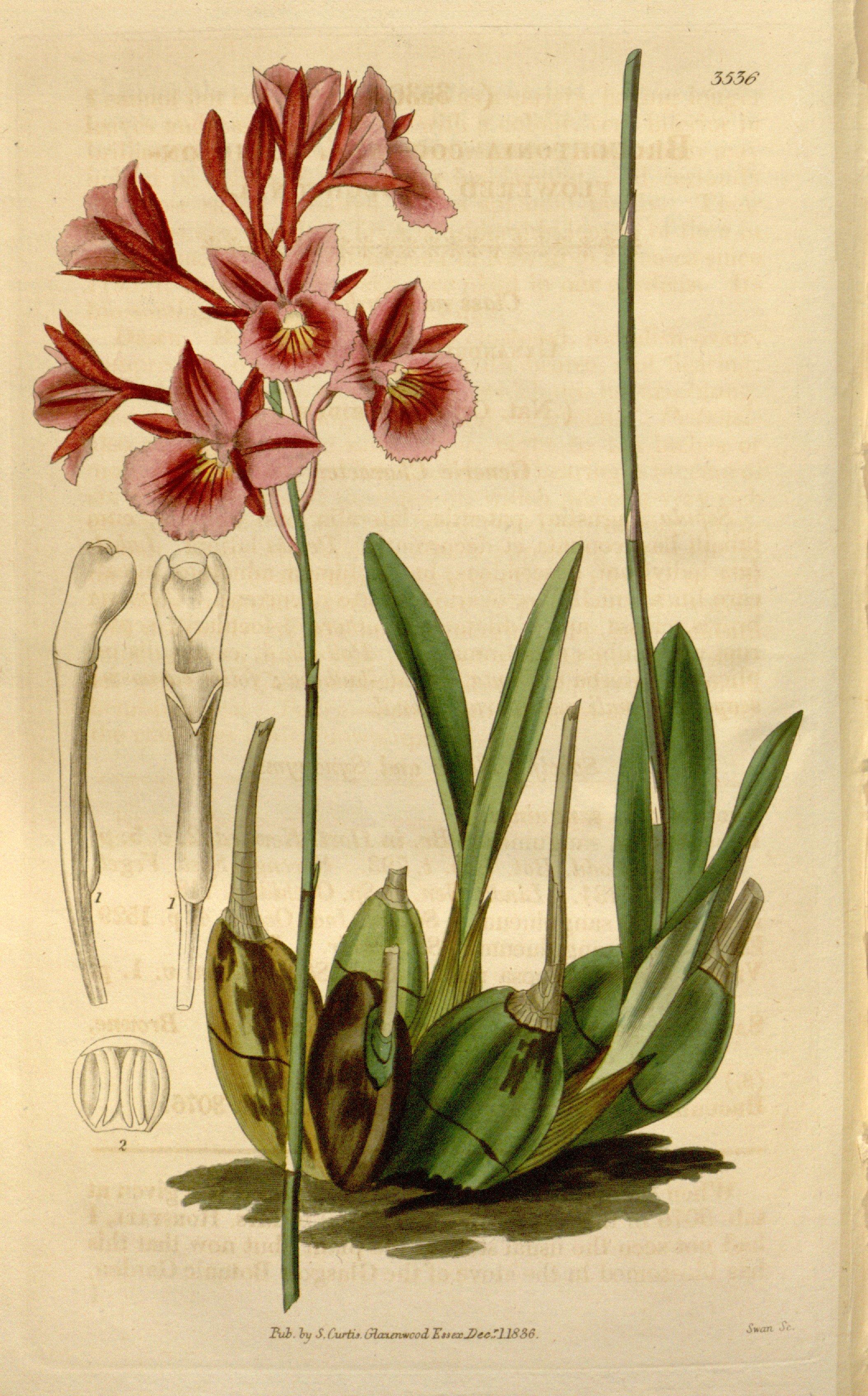 Image of Blood red Broughtonia