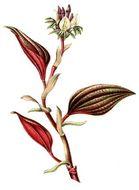 Image of Nephelaphyllum