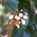 Image of <i>Leptolaena multiflora</i> Thouars