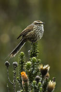 Image of Andean Tit-Spinetail