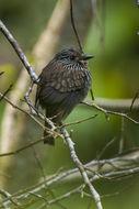 Image of Black-streaked Puffbird