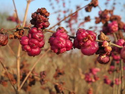 Image of coralberry