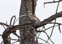 Image of Sousa's Shrike