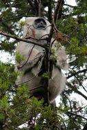 Image of Gray Langur
