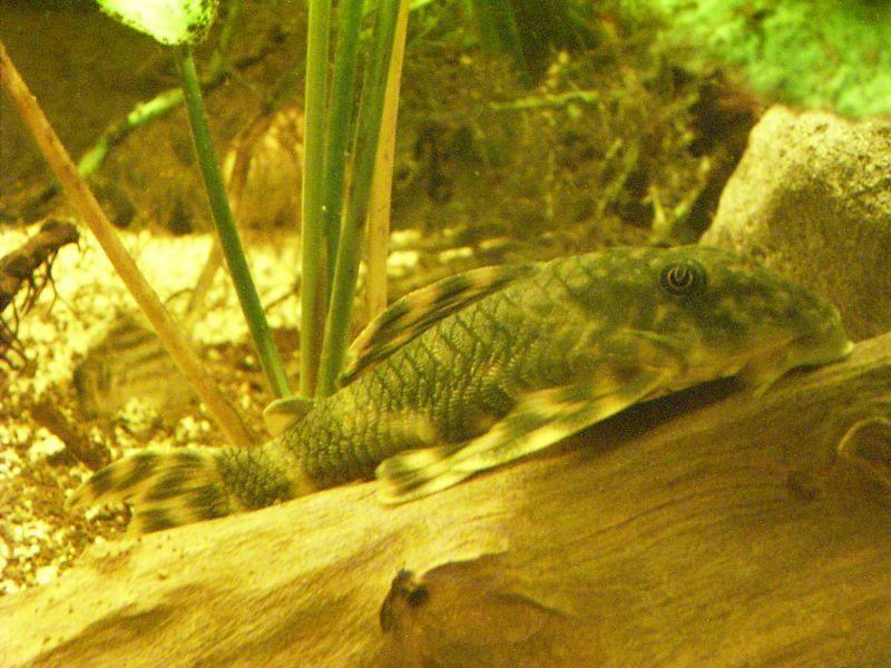 Image of Peckoltia